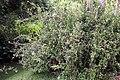 Plumbago auriculata 12zz.jpg
