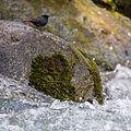 Plumbeous Water Redstart (14570920281).jpg