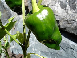 Poblano Pepper.jpg