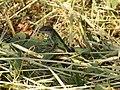 Podarcis sicula (18648702532).jpg