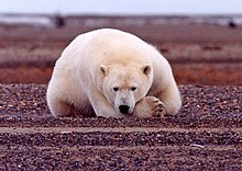 Polar bear at the coast of the Beaufort Sea