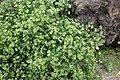 Polycarpon tetraphyllum kz7.jpg
