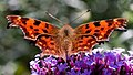 Polygonia c-album -3451 cropped.jpg