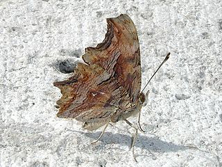 <i>Polygonia egea</i> species of insect