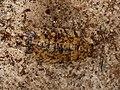 Porcellio scaber (19148822852).jpg