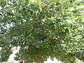 Portia Tree - പൂവരശ്ശ് 01.JPG