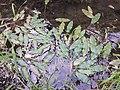 Potamogeton nodosus sl13.jpg