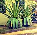 Potts Pt, Pot Plants.... - panoramio.jpg