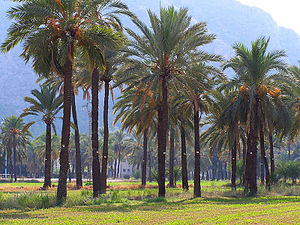 Grove (nature) - Palm grove at Orihuela, Spain