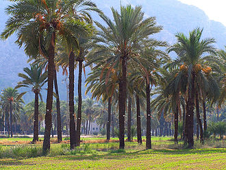 Grove (nature) - Palm grove at Orihuela, Spain