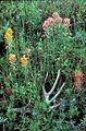 Prairie paintbrush plant flowering castilleja purpurea.jpg