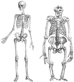Comparison between human and gorilla skeletons. (Gorilla in non-natural stretched posture.) Primatenskelett-drawing.jpg