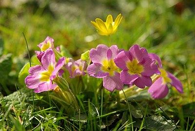 Primula vulgaris 01