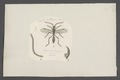 Proctotrupes - Print - Iconographia Zoologica - Special Collections University of Amsterdam - UBAINV0274 047 01 0033.tif