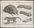 Procyon lotor - 1700-1880 - Print - Iconographia Zoologica - Special Collections University of Amsterdam - UBA01 IZ22600171.tif