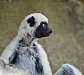 Propithecus deckenii - profile - Tsingy.jpg