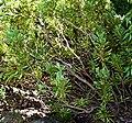 Protea repens 04.jpg