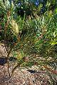 Protea scolymocephala kz1.jpg