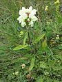Prunella laciniata sl1.jpg
