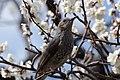Prunus Mume And Bird 白玉梅と鵯 (143395849).jpeg