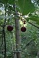 Prunus cerasus Albaloo.jpg