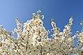 Prunus speciosa in the Jardin des Plantes 003.JPG
