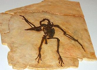 Palaeognathae - Pseudocrypturus cercanaxius fossil cast, Copenhagen Zoological Museum