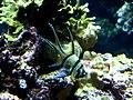 Pterapogon kauderni (Banggai cardinal fish), Burgers Zoo, Arnhem, the Netherlands.JPG