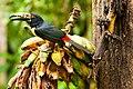 Pteroglossus torquatus -San Miguel, Bijagua, Costa Rica-8.jpg