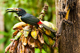 Pteroglossus torquatus -San Miguel, Bijagua, Costa Rica-8
