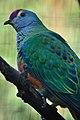 Ptilinopus regina -Taronga Zoo, Sydney, Australia-8a (1).jpg