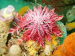 A pink feather star.