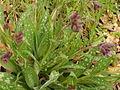 Pulmonaria longifolia Cat.jpg