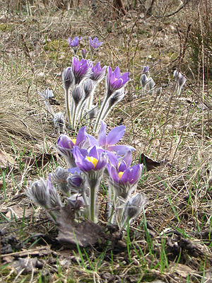 Karkaraly - Eastern Pasqueflower