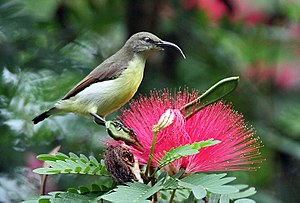 Purple-rumped sunbird - Female on Calliandra, note the whitish throat (from Kolkata, India)