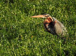 Purple Heron DSCN1925.jpg