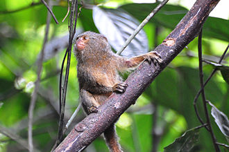 Pygmy marmoset - Specialised claws allow the pygmy marmoset to cling to trees while feeding.