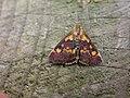 Pyrausta aurata (2944515400).jpg