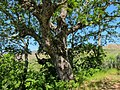 Pyrenean oak (Quercus pyrenaica) Parque Natural de Montesinho Porto Furado trail (5733146858).jpg
