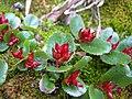 Quarait aka Salix Polaris (1493078642).jpg
