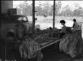 Queensland State Archives 1845 Tobacco curing Ayr November 1955.png