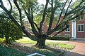 Quercus hemisphaerica (24144108645).jpg