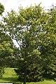 Quercus imbricaria 12zz.jpg
