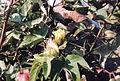 Récolte du coton à El Carmen - Pérou 09.JPG