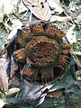 Rafflesia tuan-mudae after bloom (8058800092).jpg
