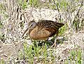 Rallus crepitans saturatus, Padre Island, Texas 1.jpg