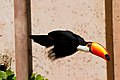 Ramphastos toco -Montecasino Bird Gardens, Montecasino, Fourways, Johannesburg, South Africa -flying-8a.jpg