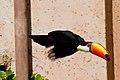 Ramphastos toco -Montecasino Bird Gardens, Montecasino, Fourways, Johannesburg, South Africa -flying-8a.jpg