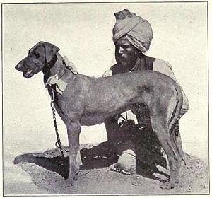 Rampur Greyhound - Circa 1915. An old example of a Rampur Greyhound.