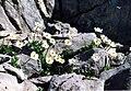 Ranunculus alpestris 2b.jpg